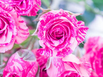 Close up of Pink Roses Stock Photo