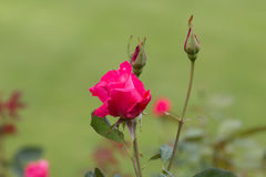 Close up of pink roses. Royalty Free Stock Photo