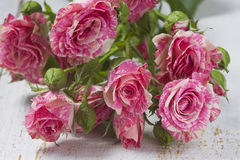 Close up of pink roses Stock Photography