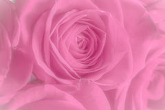 Close up of pink roses. Stock Image