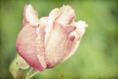 Close up on pink roses Royalty Free Stock Photo