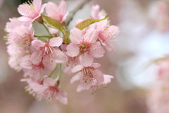 Close up pink sakura Royalty Free Stock Photos
