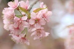 Close up pink sakura Royalty Free Stock Photos