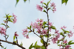 Close-up of pink sakura flower Royalty Free Stock Photography