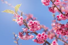 Close up pink Sakura flowers or Cherry blossom blooming on tree Stock Image