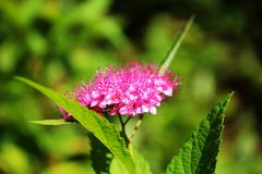 Close-up of pink spirea flowers Stock Photo