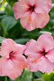 Close up of pink tropical flowers Royalty Free Stock Photos