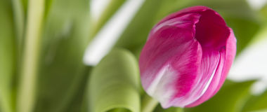 Close up of a pink tulip flower. Close up of a pink tulip with soft focus background of foilage Stock Photos