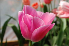 Close up of pink tulip. Romantic photograph of single pink tulip Royalty Free Stock Image