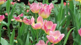 Close up of pink tulip stock footage
