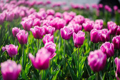 Close-up of pink tulips Royalty Free Stock Photos