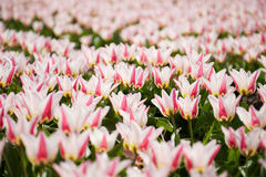 Close up of the pink tulips field, the Netherlands Stock Image