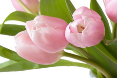 Close-up of pink tulips Stock Photography