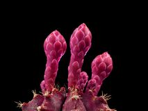 Close up of pink unopened cactus blossom isolated on black background royalty free stock photos