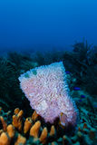 Close-up of pink vase and tube sponges, corals, and blue fish living together on coral reef  Royalty Free Stock Photography