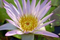 Close up of pink water lily. Aquatic asia background Royalty Free Stock Photo