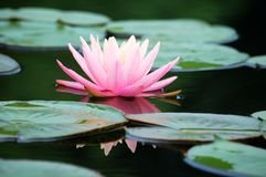 Close up of a pink water lily Stock Photography