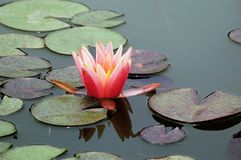 Close up of a pink water lily Royalty Free Stock Photos