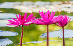 Free Close Up Pink Water Lily Blossom In The Pond Royalty Free Stock Photos - 62409068