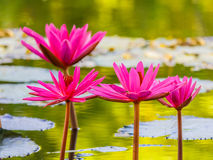 Close up pink water lily blossom in the pond Royalty Free Stock Image