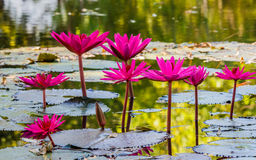 Close up pink water lily blossom in the pond Royalty Free Stock Photography