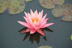 Close up of a pink water lily flower. A pink water lily flower blooming in pond Stock Images
