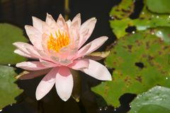 Close-up of pink water lily in pond Royalty Free Stock Image