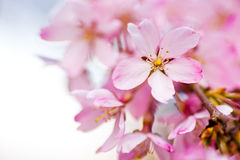 Close up of pink weeping cherry blossoms Royalty Free Stock Image
