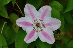 Clematis flower royalty free stock photography