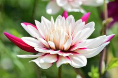 Pink and white dahlia. Close up of a pink and white dahlia in bloom with a green background Royalty Free Stock Photography