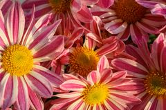 Close up of the Pink and white flowers in full bloom, service at the church royalty free stock photography