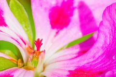 Close up of a pink and white geranium. Extreme close up of a pink and white geranium royalty free stock photography