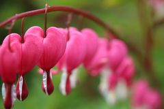 Pink and white bleeding heart flowers lamprocapnos spectabilis all in a row. Close-up of pink and white lamprocapnos spectabilis bleeding heart flowers all in a stock images