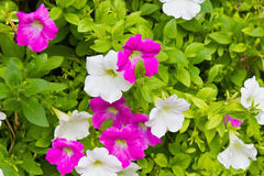 Close up of pink and white petunia flower Stock Image