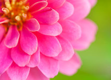 Close up of pink wild flower. Beautiful floral use as background. Close up of pink wild flower on nature background. Beautiful floral use as background. Shallow Stock Image