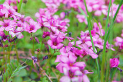Close up of pink woodsorrel flowers (Oxalis corymbosa).  stock photography