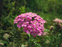 Close up of pink yarrow flower Stock Photo
