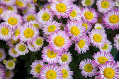 Close up pink and yellow chrysanthemums daisy flowers  use as flora and bud petal background,backdrop Royalty Free Stock Image