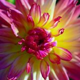 Close up of pink yellow Dahlia flower. Stock Image