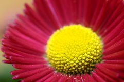 Macro of pink and yellow daisy flower Royalty Free Stock Photography