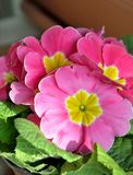Close-up of pink and yellow primroses. Royalty Free Stock Image