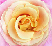 Close up of pink and yellow rose petals. Royalty Free Stock Photo