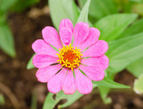 Close-up pink zinnia flower Royalty Free Stock Images