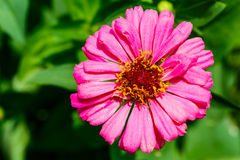 Close up of pink  Zinnia flower Royalty Free Stock Photography