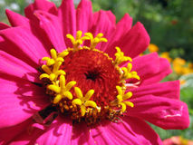 Close up of pink zinnia stamens Stock Photography
