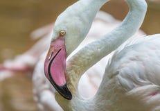 Pinked beaked white Flamingo stock image