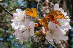Close-up of pinkish cherry flowers with young brown leaves. Close-up of pinkish flowers and brown leaves on a cherry tree stock images