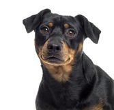 Close up of a Pinscher and Jagterrier crossbreed, isolated Royalty Free Stock Image