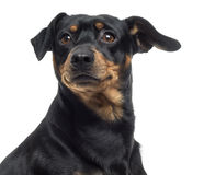 Close up of a Pinscher and Jagterrier crossbreed, isolated Stock Photos