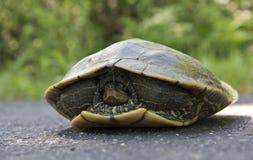 Close up pintado da tartaruga Imagens de Stock Royalty Free